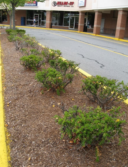 Pet Peeve: Ever-Ugly Evergreens