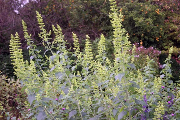 I read that this salvia makes a good cut flower too... I'm ordering some seeds and plants next year, and I'll find out.