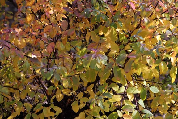 And speaking of Spireas, and fall color, how about this Spiraea nipponica 'Howard's Silver'?  Also a gift from Bert.