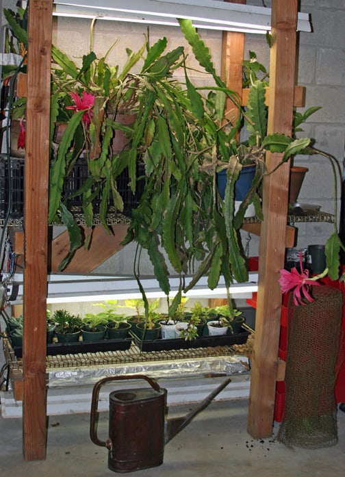 Here are some cuttings taken for next year's garden. See the lovely epiphyllums flowers?