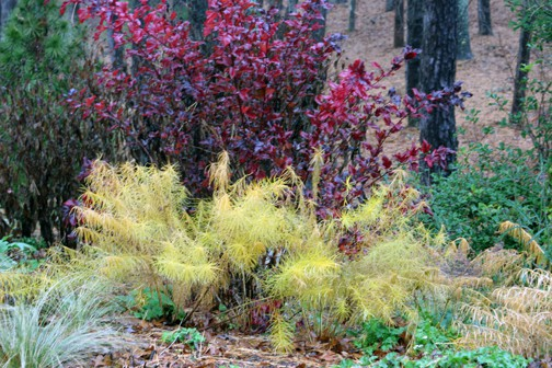 You can't beat this Amsonia hubrichtii (yellow) and the 'Center Glow' Physocarpus (red/purple) for fall color.