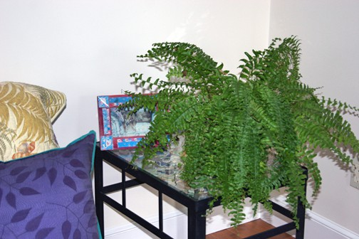 This is the best looking of the four ferns, so it goes in the front room.