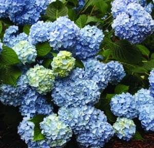 A Nikko Blue hydrangea will always be either light blue or light pink. You can't make this one dark blue or deep purple.