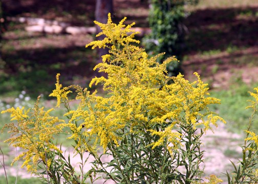 Of Ragweed and Goldenrod